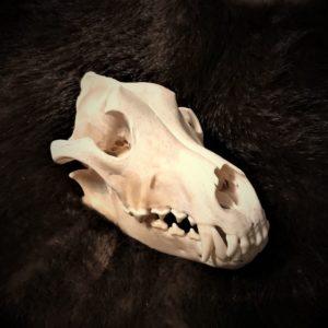 волчий череп-купить,цена,отбеленный,с зубами
