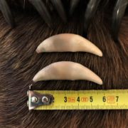Большие клыки от матёрого волка