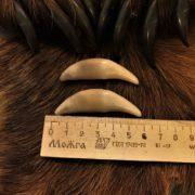 настоящие крупные клыки волка